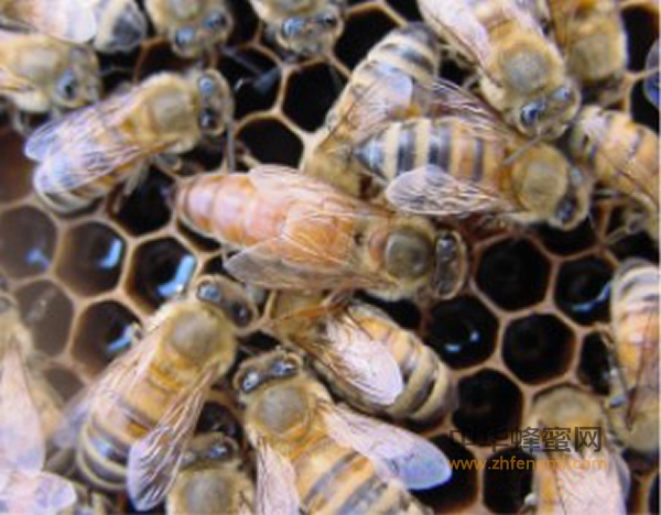 幼虫 蜜蜂 技术 冷冻保存