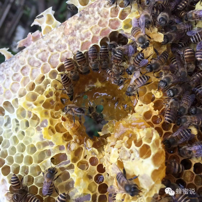 【牛奶加蜂蜜】_全球蜂蜜产量及主要蜜源产区盘点——北美洲蜜源