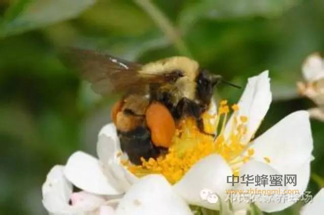 【蜂蜜醋减肥法】_听说花粉的作用很大到底是啥玩意?