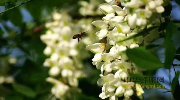 【孕妇喝蜂蜜水好吗】_四大蜜之一蜜源植物——槐花