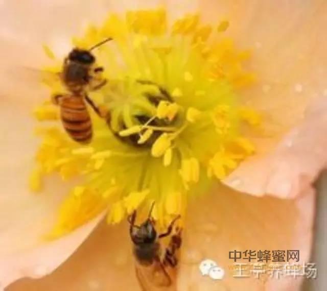 【蜜蜂蜜蜂】_蜂蜜、蜂胶、蜂花粉、蜂王浆的异同,今天终于清楚了!