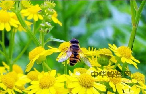 【蜂蜜柚子茶制作方法】_你知道吗?多吃蜂蜜竟是爱国行为!