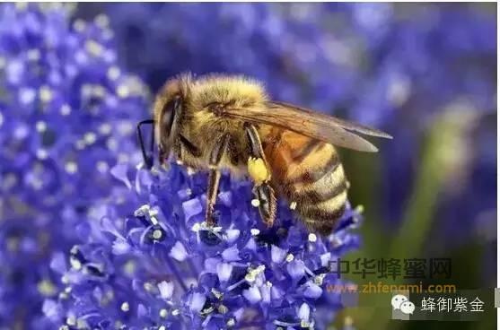 """【蜂蜜水的功效和作用】_蜂胶,风靡世界的""""软黄金""""!"""