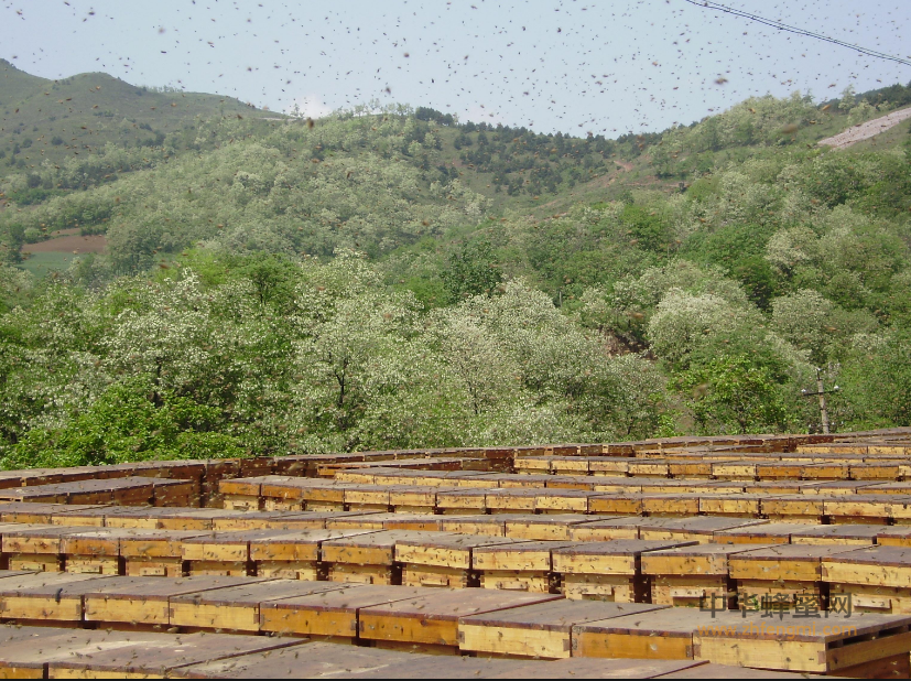 养蜂人 王军成 养蜂技术 养蜂专家 养蜂致富