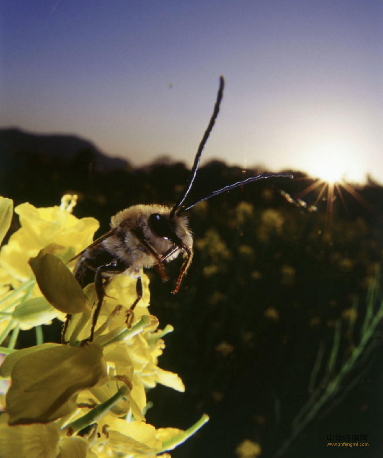 汽车尾气 蜜蜂授粉 蜜蜂产蜜 Leonard 国际昆虫学大会