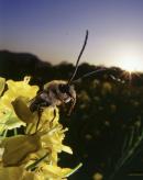 研究|汽车尾气影响蜜蜂的授粉和产蜜