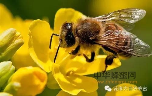 【蜜蜂蜜】_【买蜜必看】成熟蜂蜜PK非成熟蜂蜜