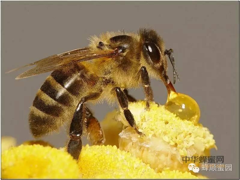 【蜂蜜瘦身】_了解蜂蜜这些误区,才能安安心心喝蜂蜜