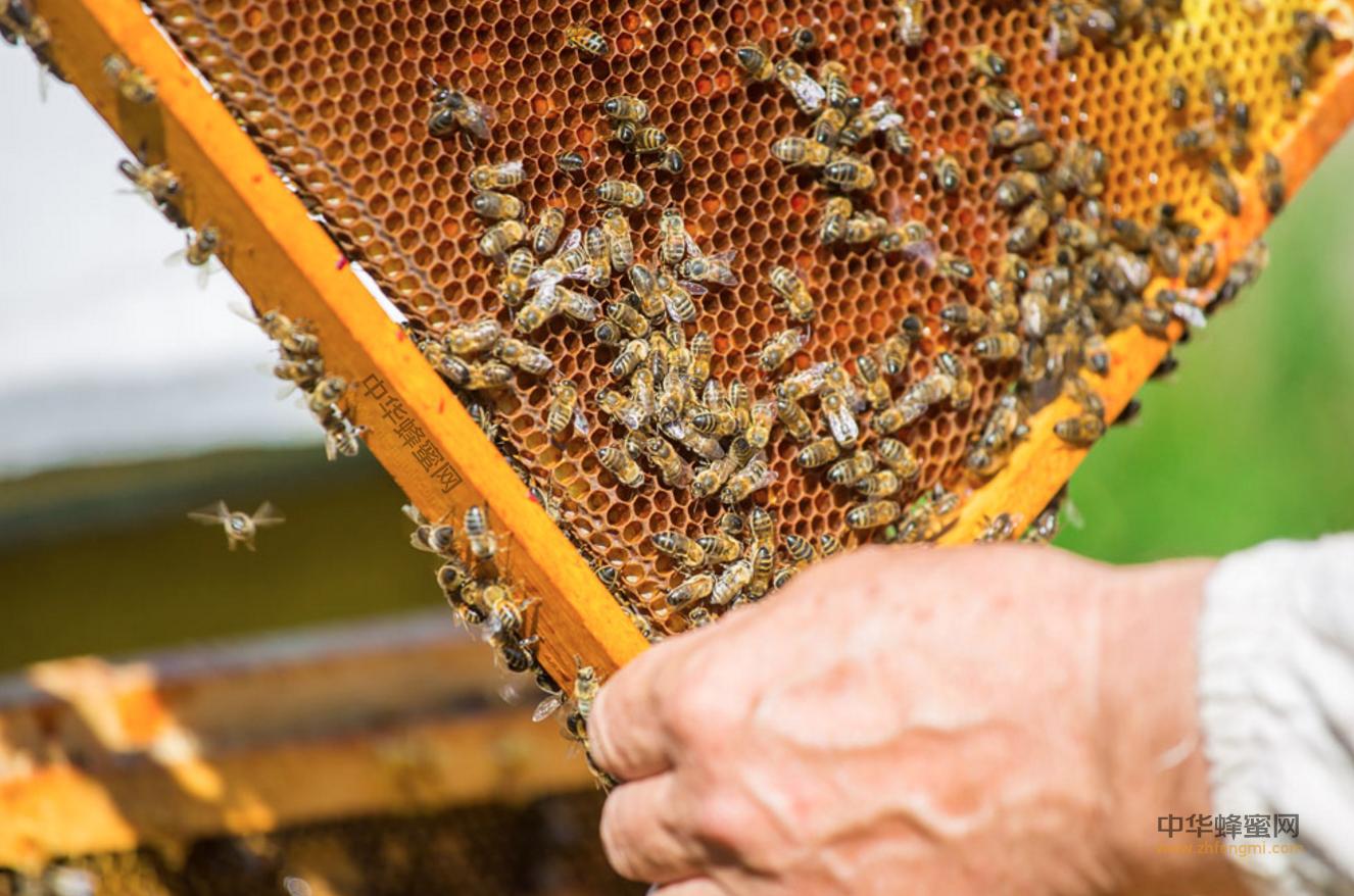 蜜蜂养殖 养蜂人 蜂群检查技术 养蜂技术 全面检查 局部检查 箱外观察