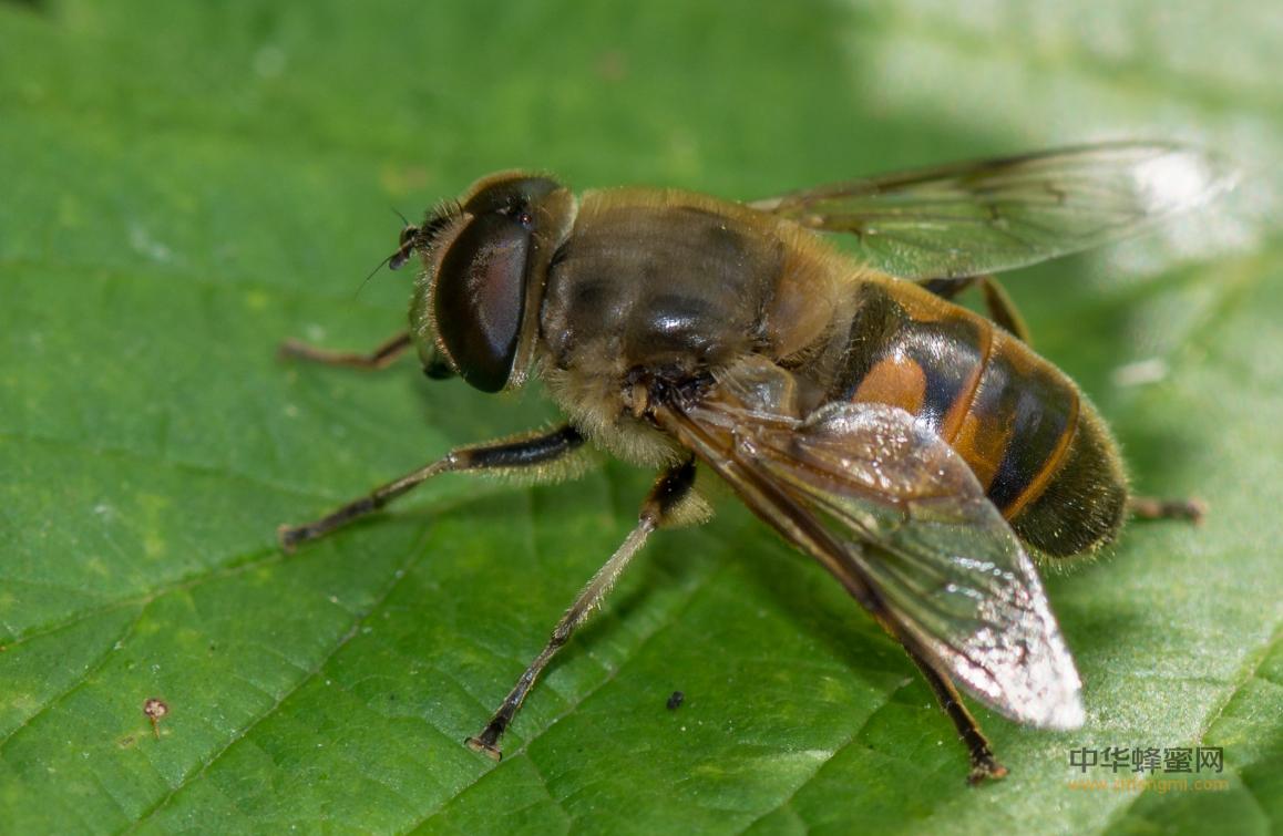 蜂毒 蜂毒的作用功效 蜂毒疗法 蜂疗治咳