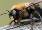 蜜蜂 情绪 生物学家 大黄蜂 蜜蜂研究
