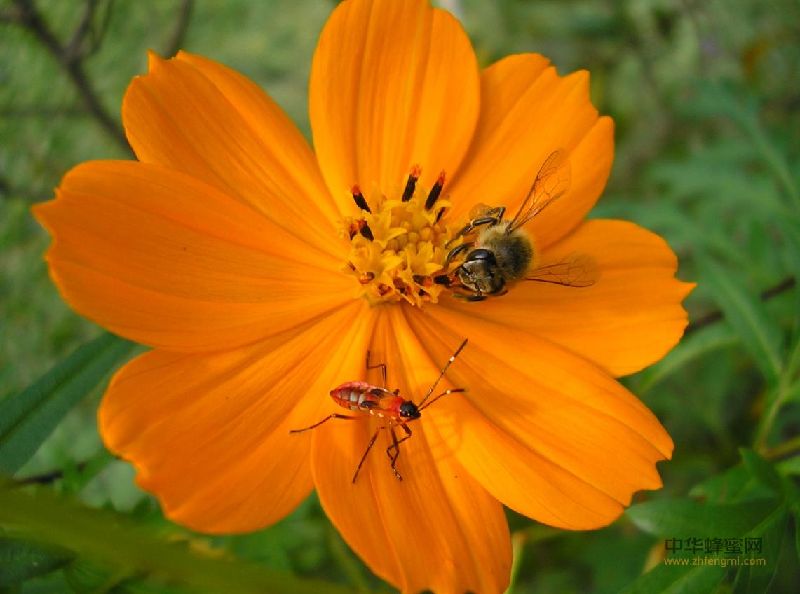 农药 蜜蜂 危害 授粉 农业 养蜂人 蜜蜂授粉