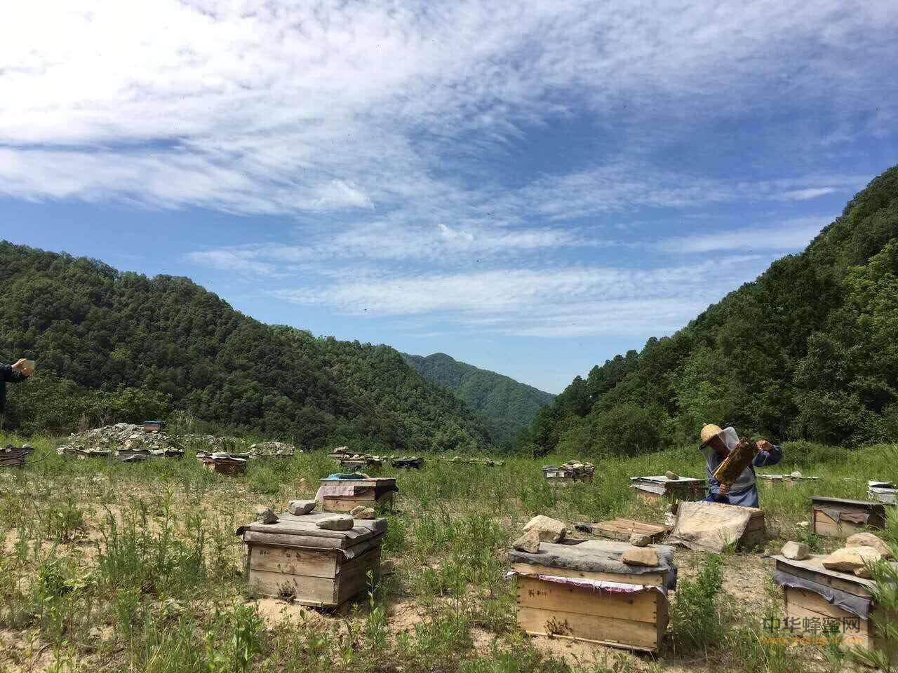 中蜂 中华蜜蜂 人工分蜂 养蜂技术 中蜂养殖技术 分蜂方法