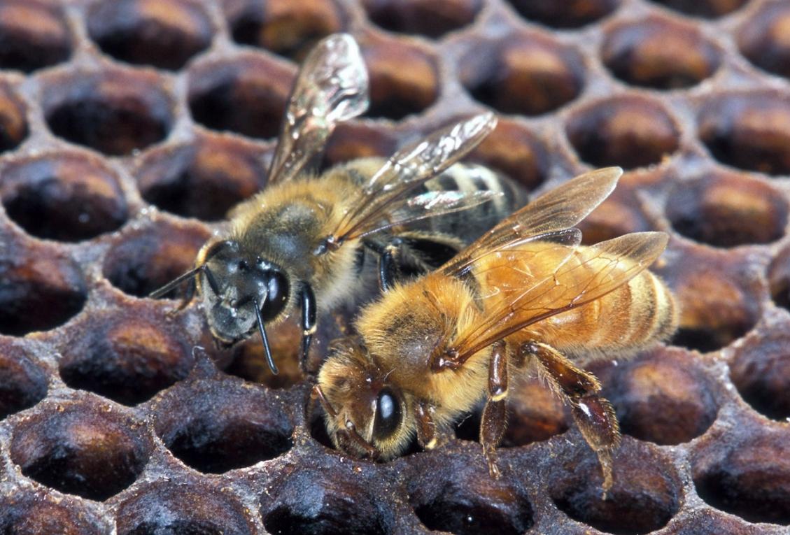 农药 污染 蜜蜂病虫害