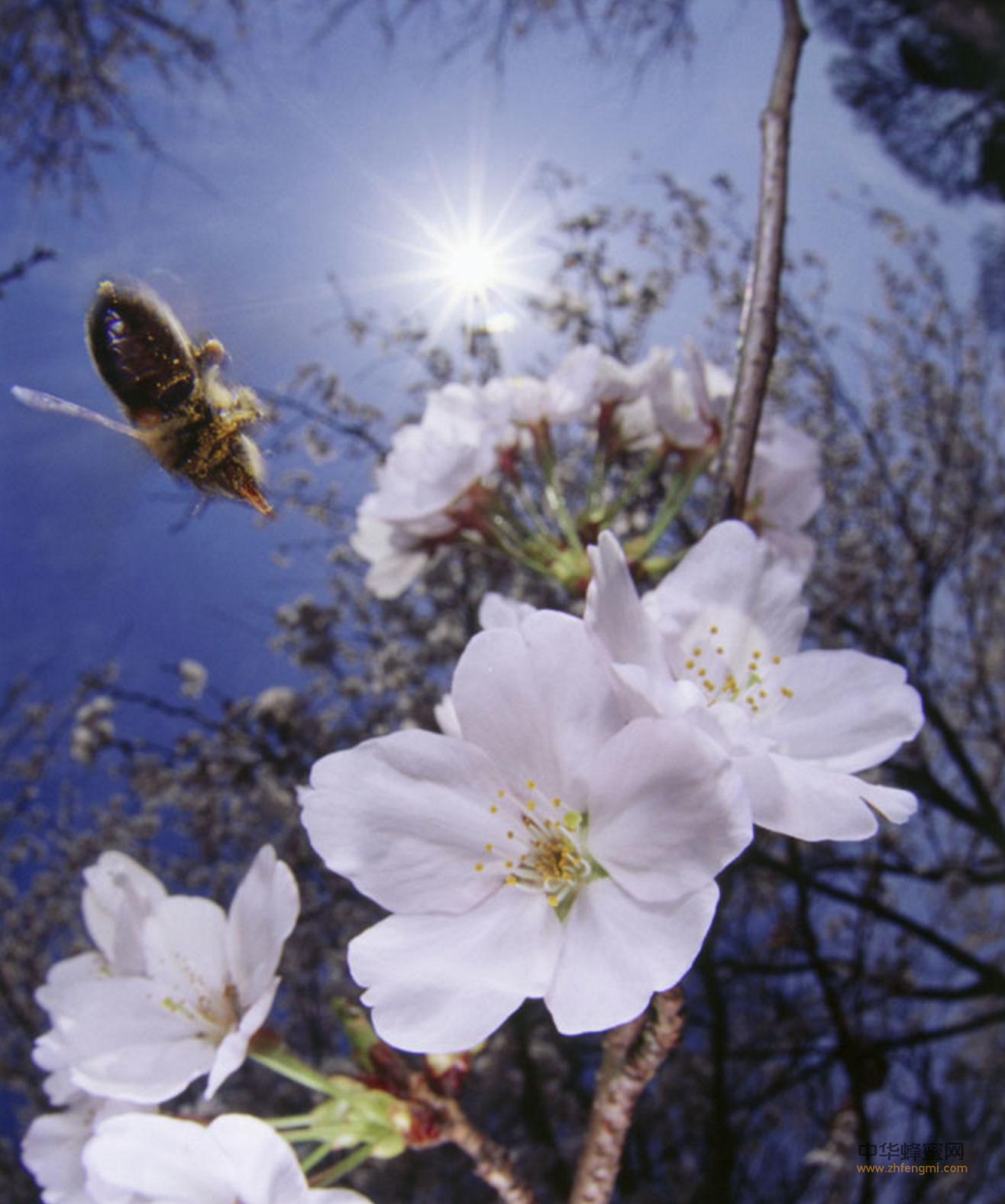 蜂毒 蜂毒提纯 蜂毒提炼 蜂毒脱脂