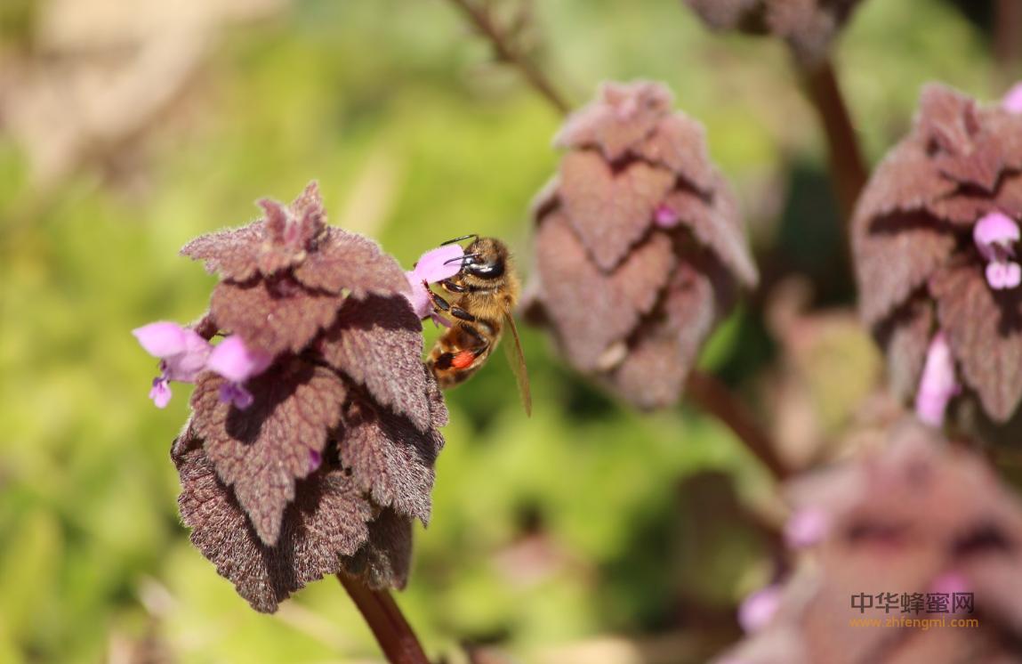 蜂毒 蜂毒治疗 剂量 疗程