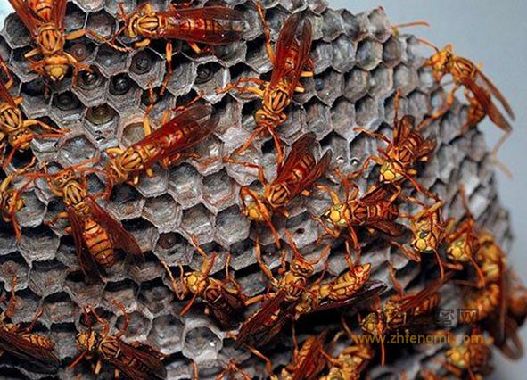 蜂毒 蜂毒的作用 风湿 蜂毒治疗