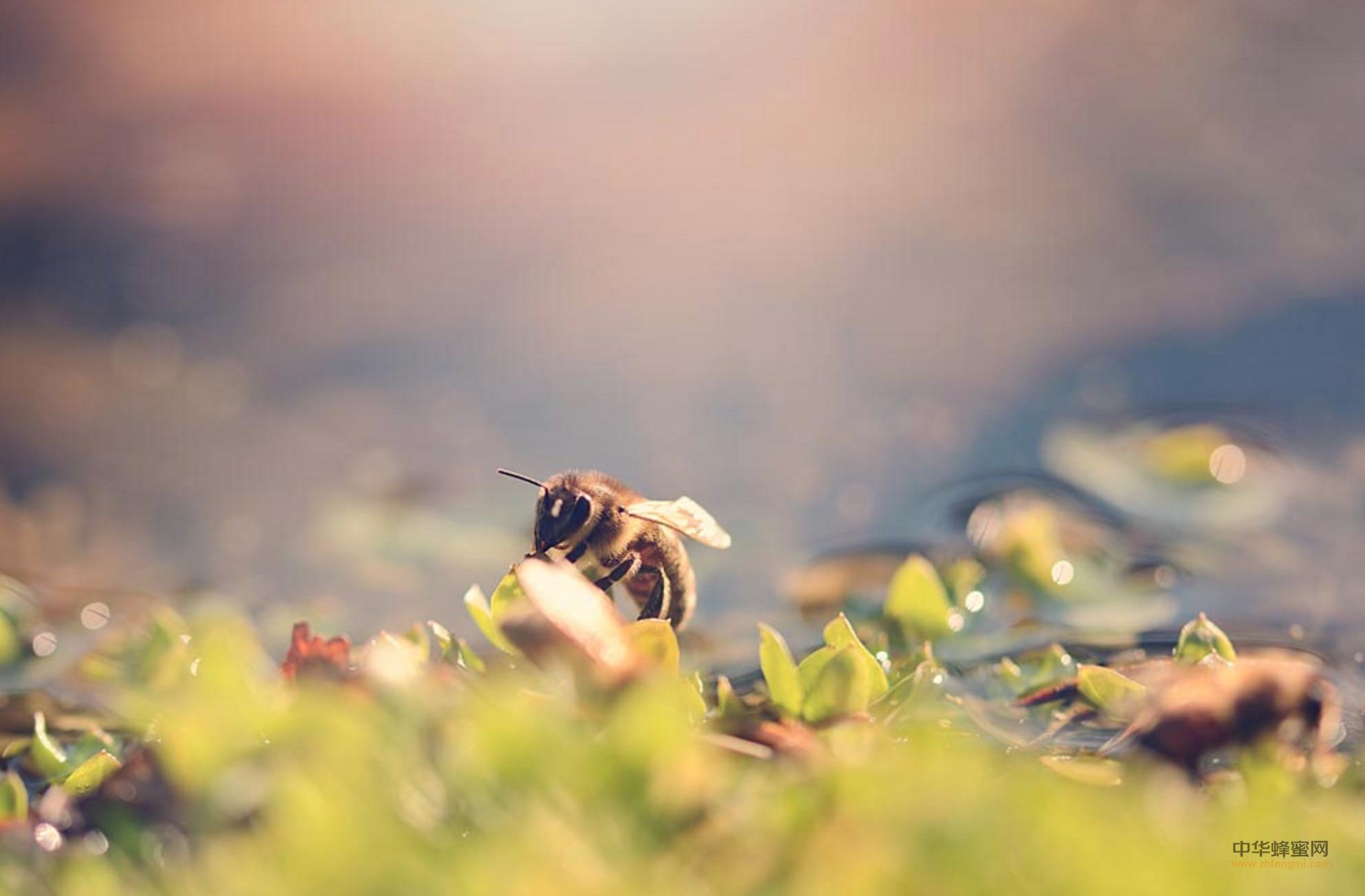 蜂毒 疗法 蜂毒治疗 蜂毒过敏