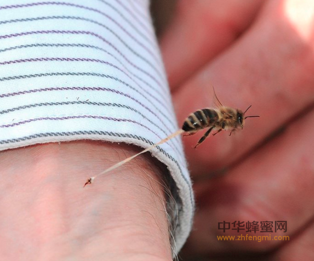 蜂毒 蜂毒的作用 作用