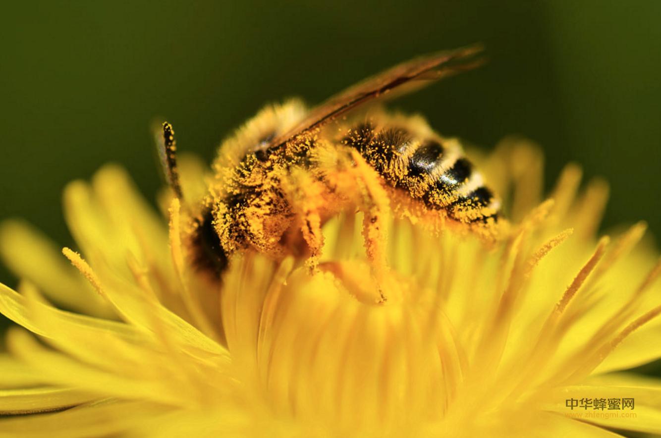 蜜蜂养殖 盗蜂 蜂群 养蜂技术