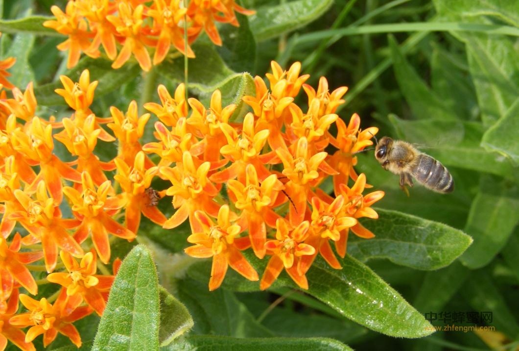 蜜蜂 采蜜 蜂蜜 酿造蜂蜜