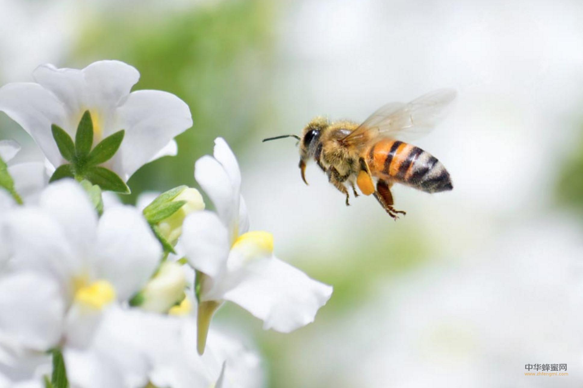 蜜蜂 品种 蜂种 黑蜂 意蜂 中蜂