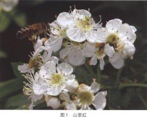 珲春 黑蜂 蜂种 蜜蜂