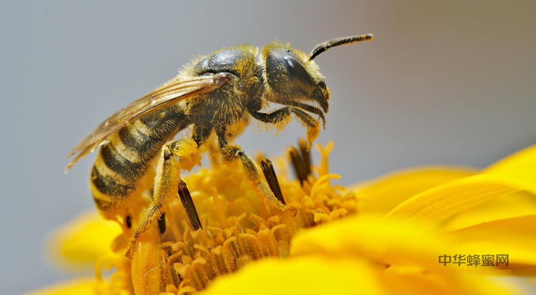 蜜蜂 蜜蜂授粉 农作物
