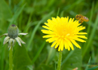 蜜蜂 虫蛹