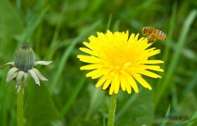 蜜蜂虫蛹的干燥