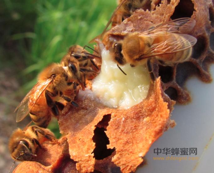 蜜蜂 蜂王浆 工蜂