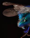 野生蜜蜂的惊人的多样性