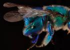 蜜蜂 蜜蜂图片 蜂种