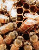 蜂群的组成