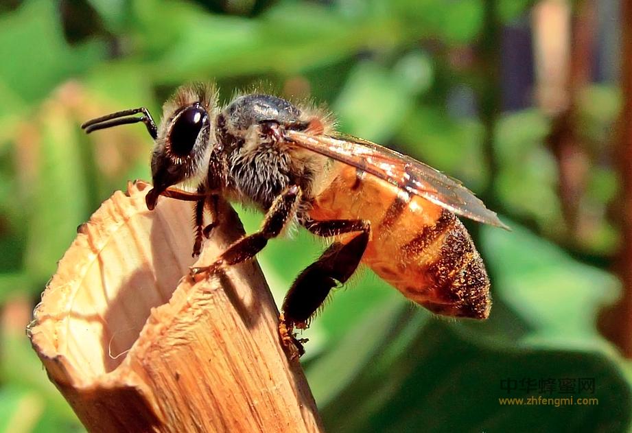蜜蜂授粉 蜜蜂 蜂农