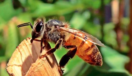 我国蜜蜂数量锐减影响到了农作物的花粉传授