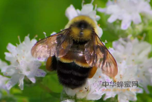 黄蜂 美国 蜜蜂 授粉