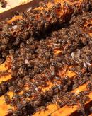 蜜蜂养殖的越冬饲喂