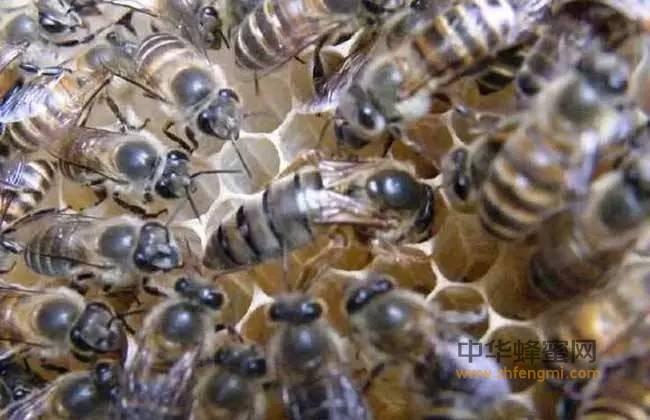 【冠生园蜂蜜】_关于蜂王发育成熟 你知道吗?