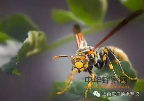 【蜂蜜醋减肥】_【国家地理杂志揭秘】巴西蜂胶特殊的树种与蜂种