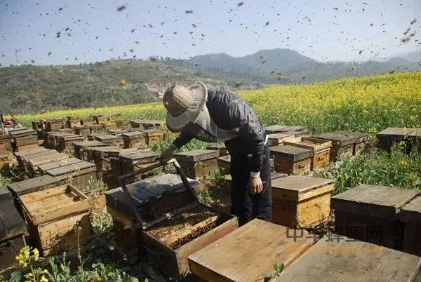 【蜂蜜幸运草优酷】_2017年变个思路养蜂 让你更赚钱