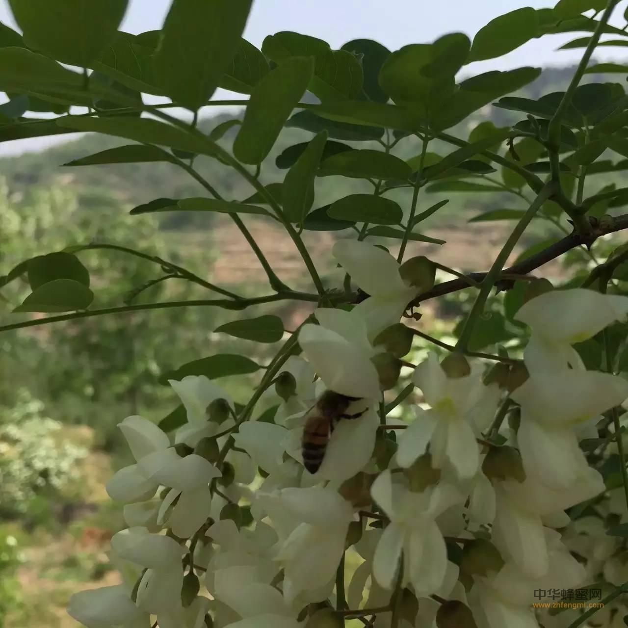 【明园蜂蜜】_5月带你了解槐花蜜