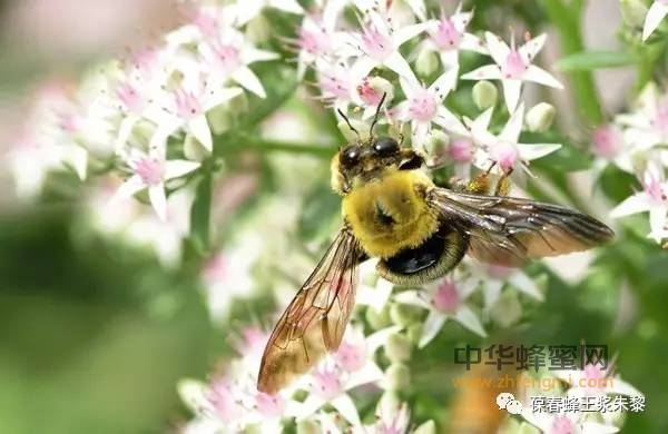 """【红枣蜂蜜】_""""游手好闲""""的雄蜂"""