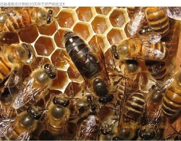 怎样培育好蜂王
