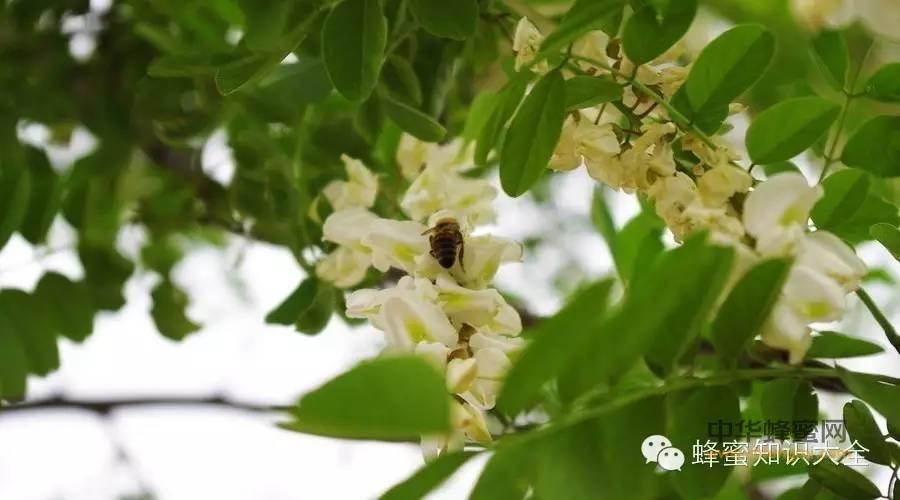 【蜂蜜怎么】_如今市场上卖假蜂蜜的太多了,小蜜蜂带您一起鉴别真的洋槐蜜!快来快来……