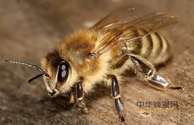 蜜蜂白垩病防治方法