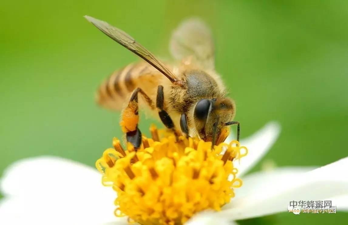 不同种类蜂花粉的功效,都在这里!