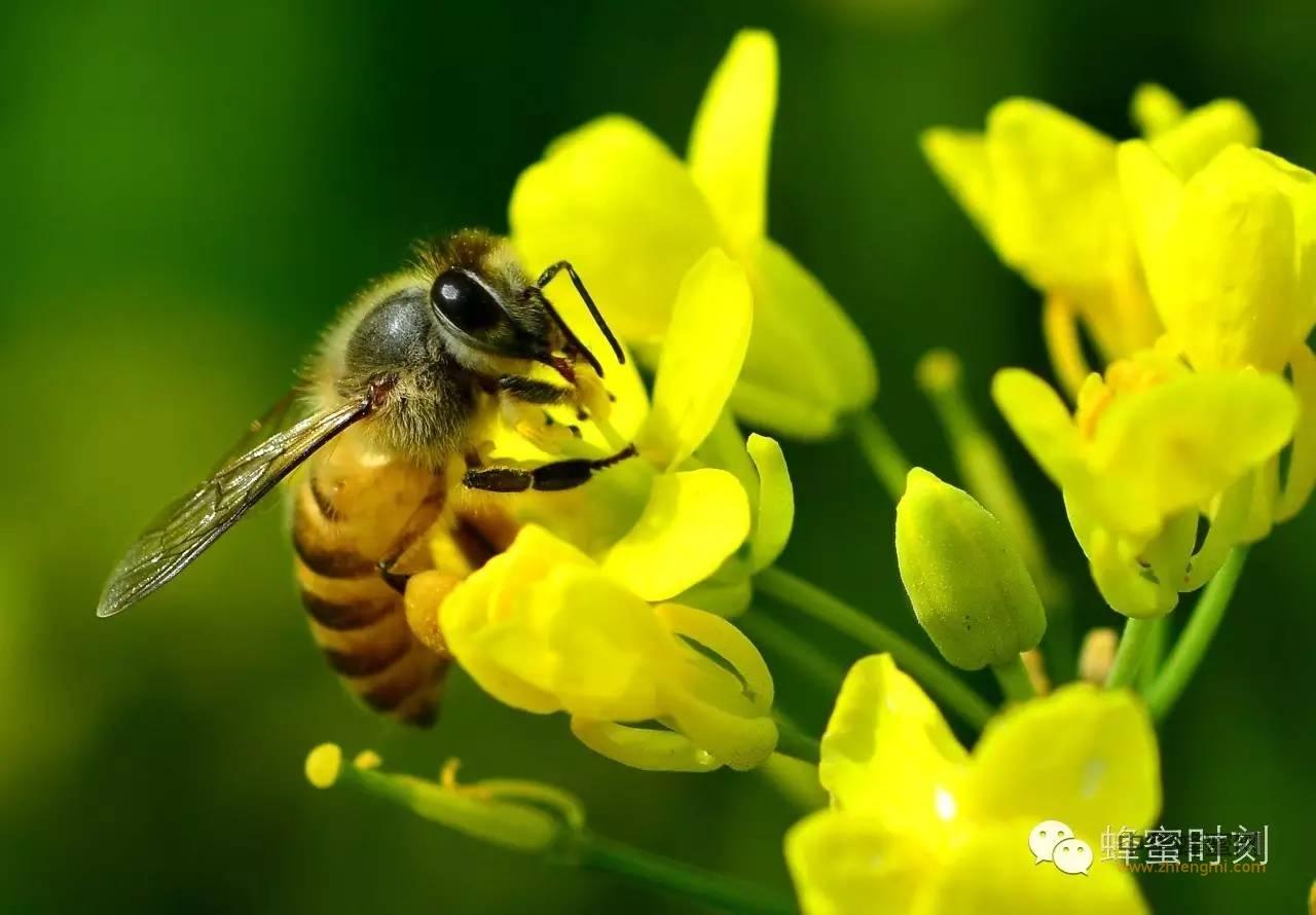 这种蜂蜜为什么老婆常给老公买?