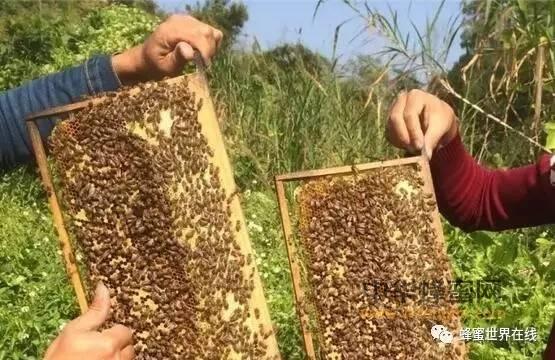 蜂群在各流蜜期的管理概要 !