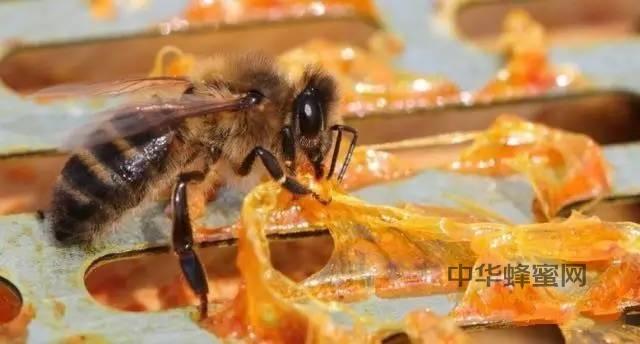 【蜂奥·礼赞】世界蜜蜂日—蜂胶赞